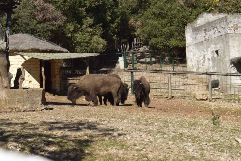 bisonti nel parco