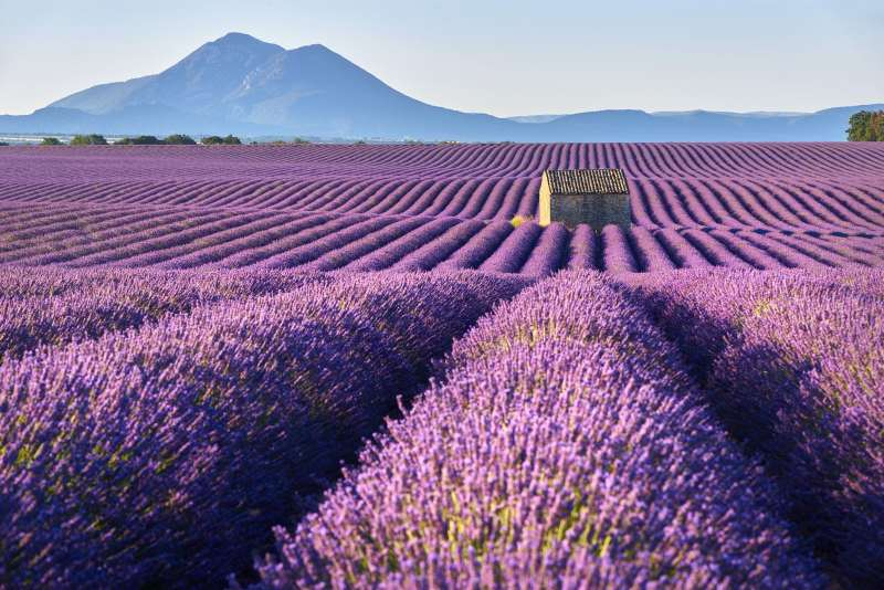 Valensole and the flowering of lavender