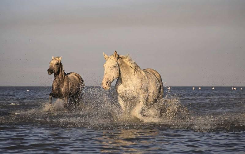 Animali in Camargue - Cavalli