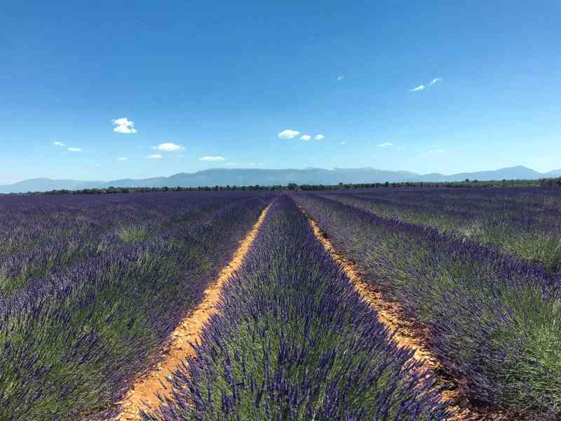 Flowering Lavender Valensole