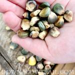 Heirloom Corn Seed