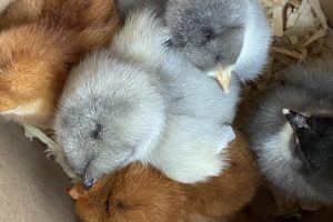 Bring Home Baby Chicks