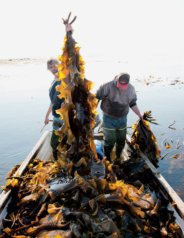 Ron Hinkle (left) and Jay Mayer stand nearly knee-deep in a boat full of sugar kelp, harvested off South Addison near Flat Island in outer Pleasant Bay.