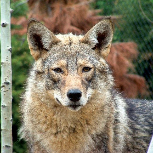 Does Maine Need Coyotes, Maine Wildlife, Magazine Maine