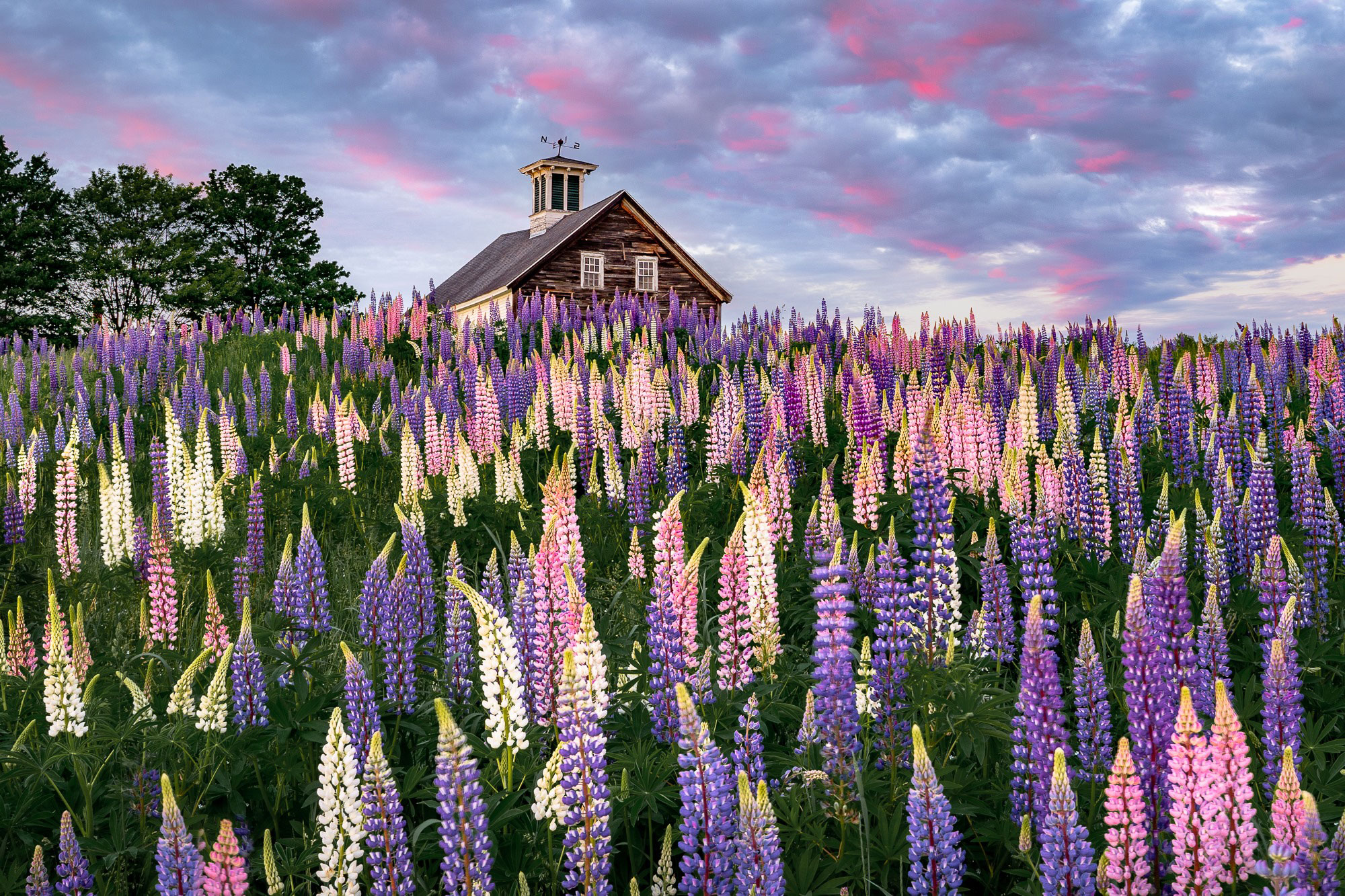 Lupines in Maine