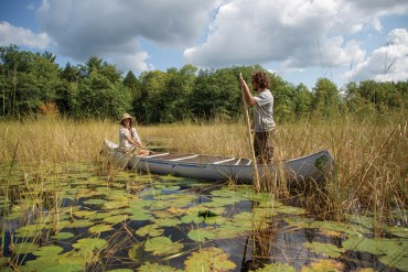 wild rice harvesting in Maine