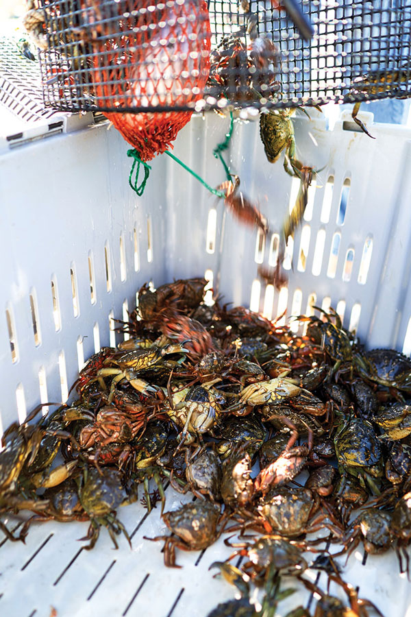 Maine Green Crabs