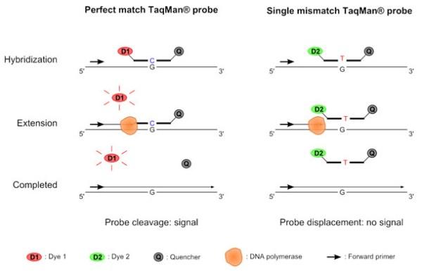 TaqMan SNP genotyping | Applied Maths