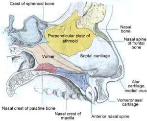 Diagram of the Nasal Septum