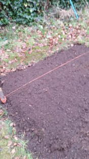 broad beans planted