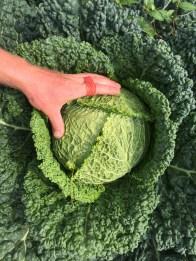 savoy cabbage hand