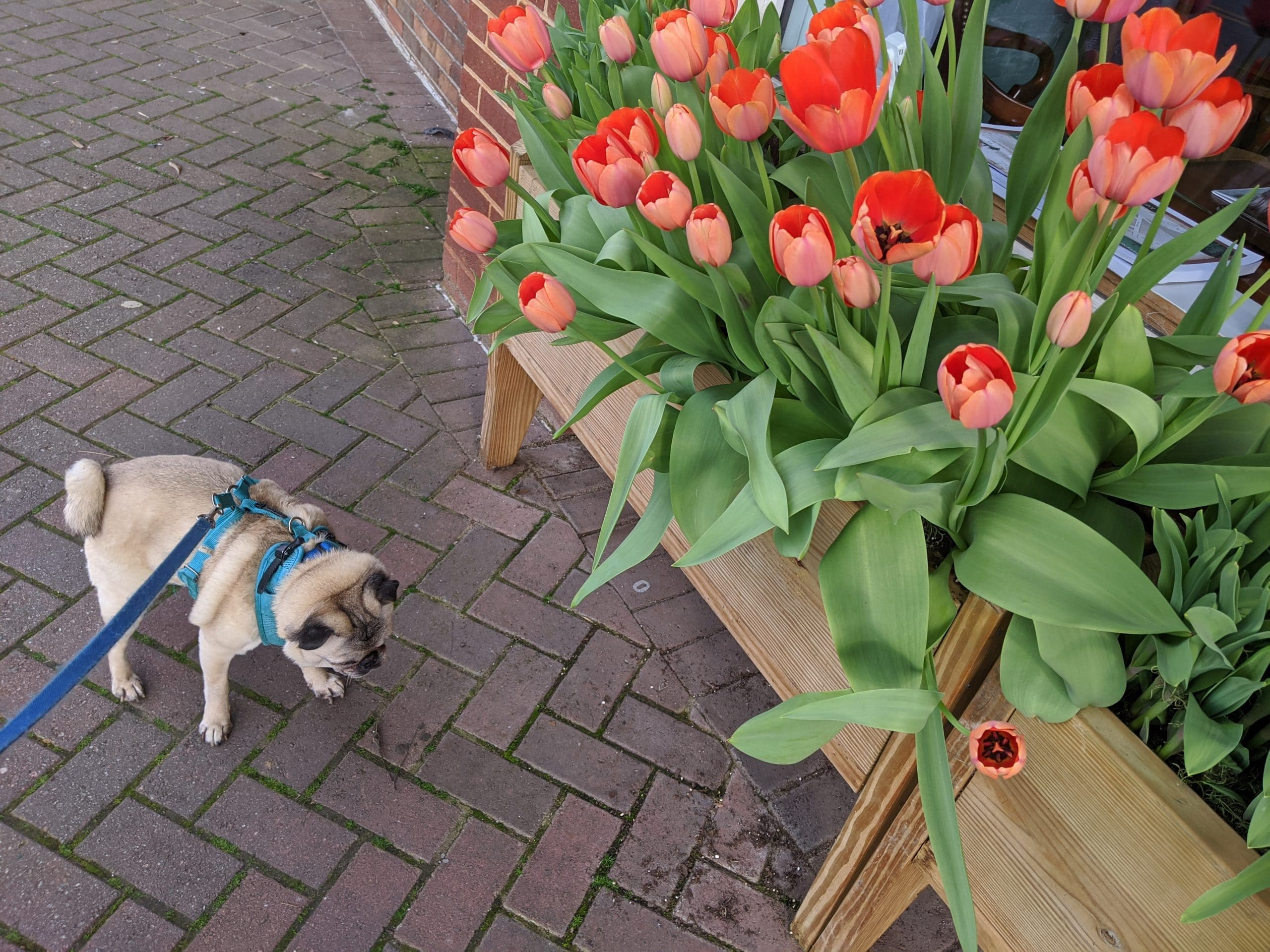 Adorable Pug smelling the tulips outside Green Willow Spa in Downtown Ellijay
