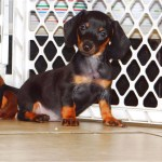 Dachshund Puppies For Sale Near Me Craigslist