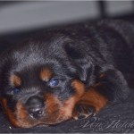 German Rottweiler Puppies For Sale Houston Tx