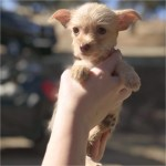 Teacup Yorkie Puppies For Sale Florida