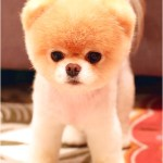 Purchase Pomeranian Dog Seller Near Me Up To 69 Off