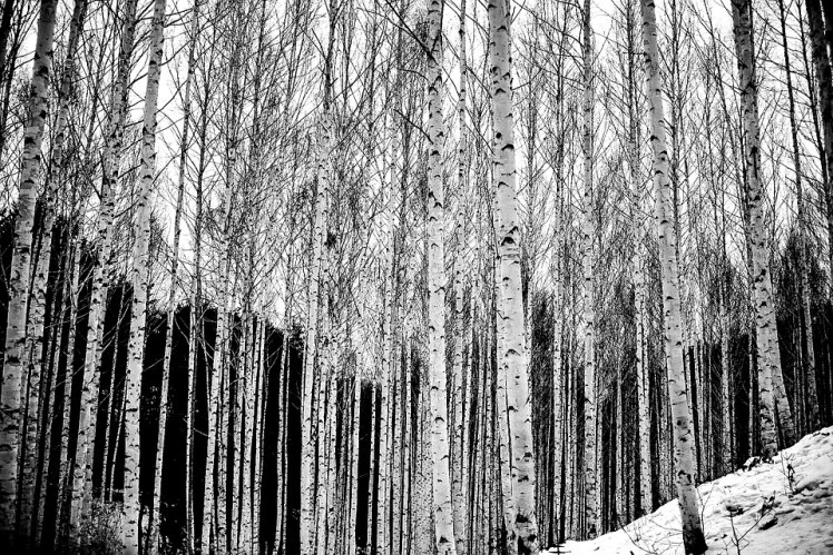 A stand of old growth Birch trees.