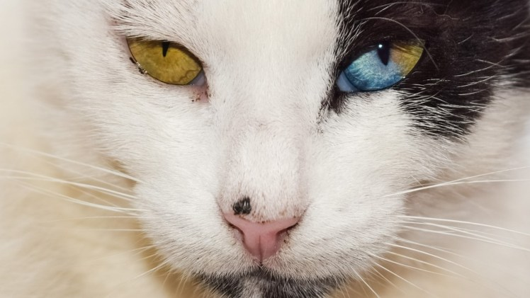 A picture of a cat with different colored eyes.