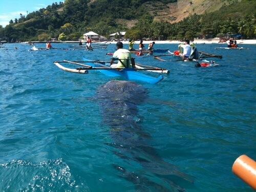 Walvishaai - Oslob, Cebu Island, Central Visayas, Filipijnen