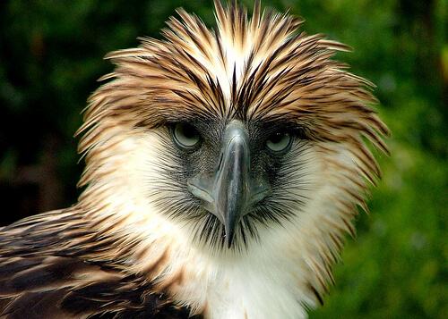 Philippine Eagle - Davao, Mindanao, Filipijnen