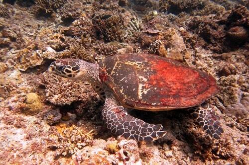 Zeeschildpad in de Bacuit Bay - El Nido, Palawan, Filipijnen
