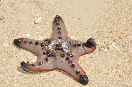 Zeester op Starfish Island in de Honda Bay - Puerto Princesa, Palawan, Filipijnen