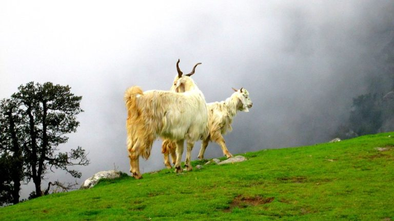 Hill Goat - Himachal Pradesh