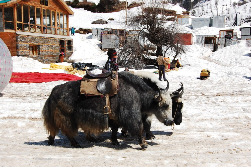 Yak Ride, Manali