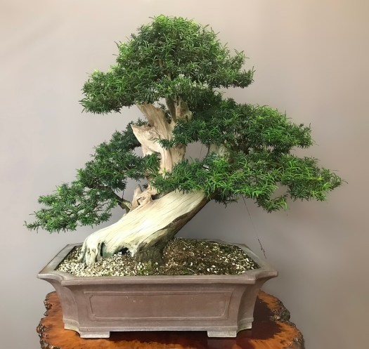 JAPANESE YEW - SOLD -