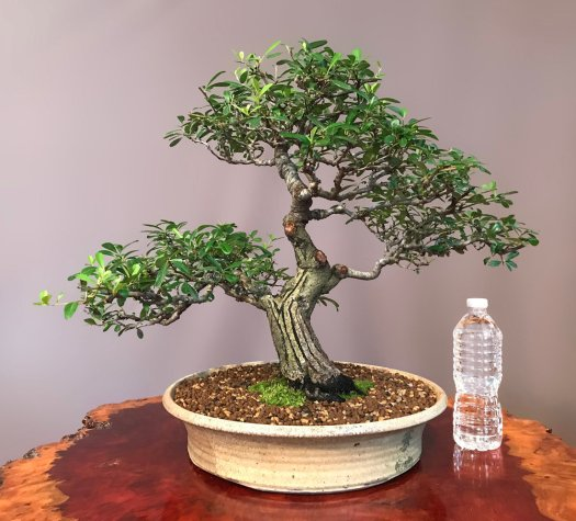 PYRACANTHA - SOLD -