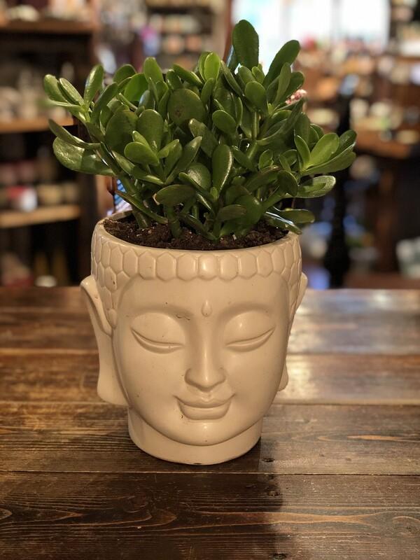 Medium Buddha Succulent