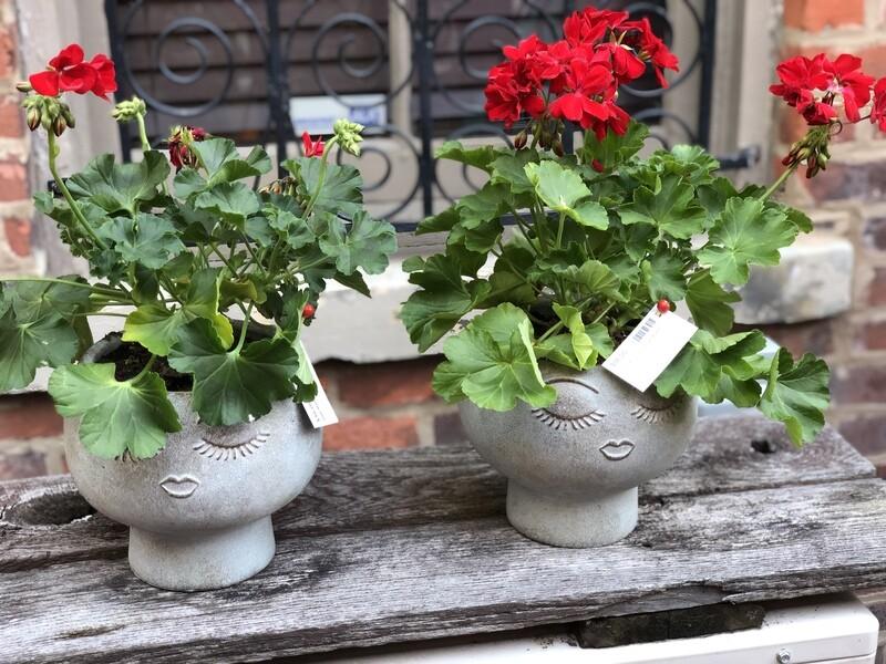 Dear Mama 'Geranium Plant'