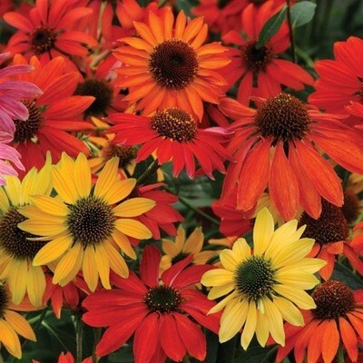 Echinacea Cheyenne Spirit (gallon) - more ready soon!