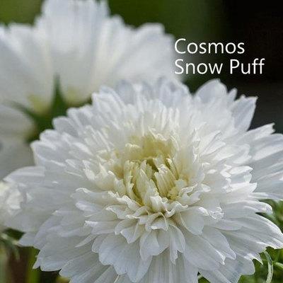 Cosmos Snow Puff