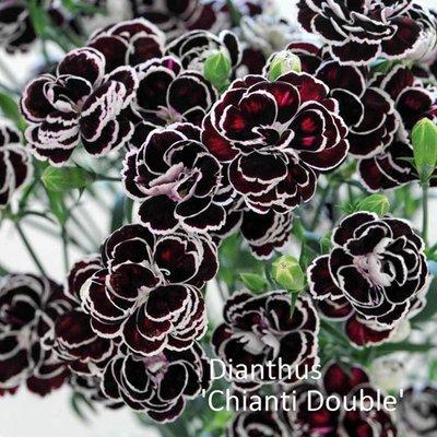Dianthus 'Chianti Double'