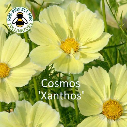 Cosmos bipinnatus Xanthos