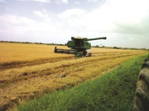 Rice being harvested with combine