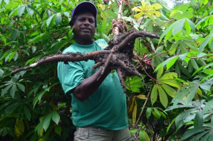 A proud farmer shows off his cassava produce in Parika
