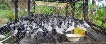 One of the duck hatcheries owned by Mr. and Mrs. Gordon