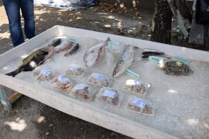 A display of tambaki and other fish reared in fresh and brakish (high salinity) water, at the Satyadeo Sawh Aquaculture Station, Mon Repos