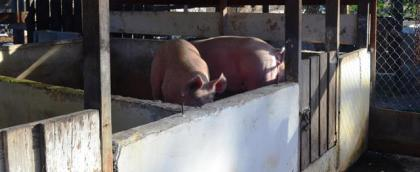 Two of the pigs that were part of the Swine AI Programme