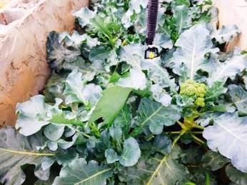 Broccoli grown at GSA.