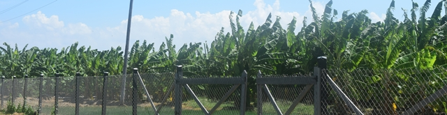Some of the plantain suckers already in the ground on the farm.
