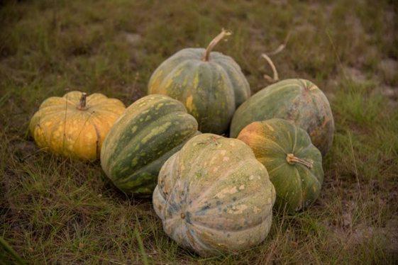 Pumpkins on Pandit Haresh Tewari's farm at Laluni.