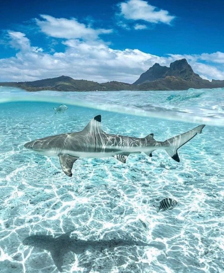 especies de tiburones: punta negra