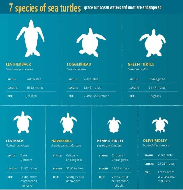 sea turtle species infographic