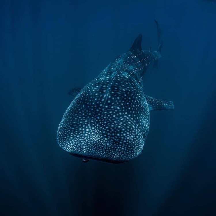 especies de tiburones: tiburon ballena