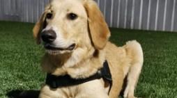 Perros entrenados podrán detectar Covid-19
