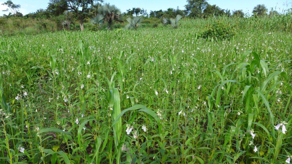 Oromo's sesame field in flower