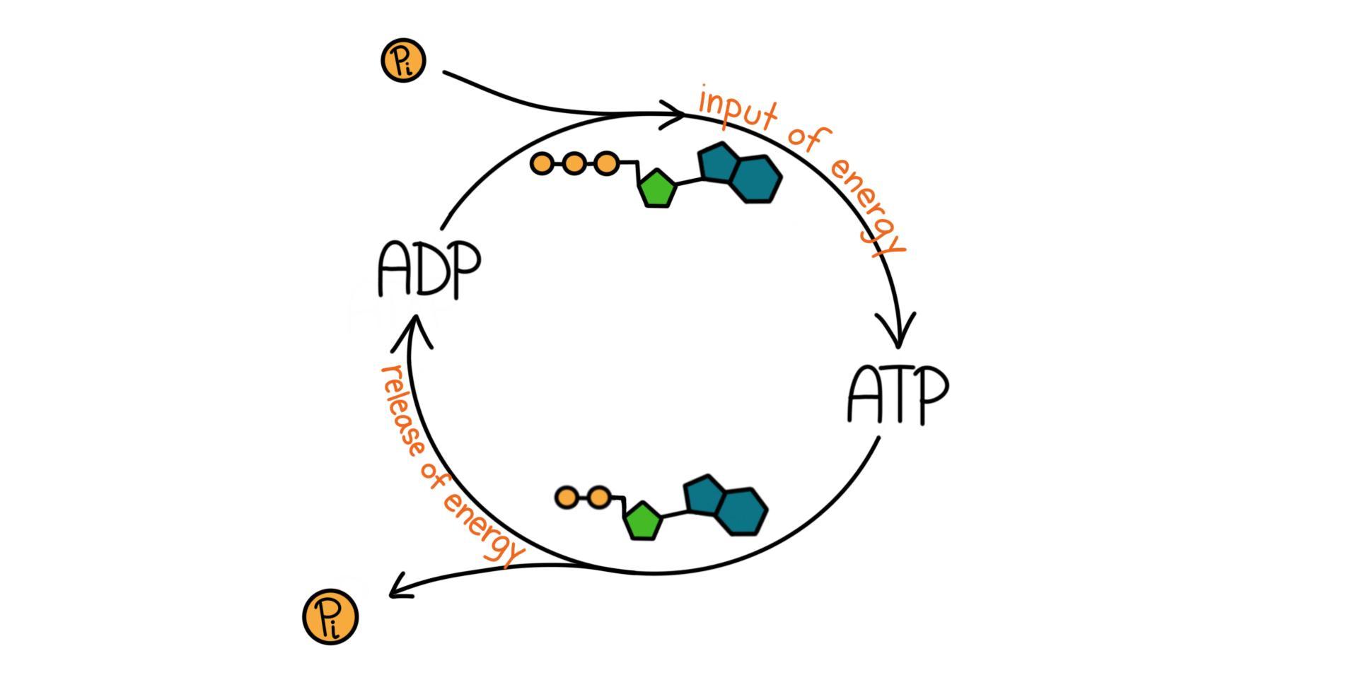 Atp Phosphorylation And Hydrolysis